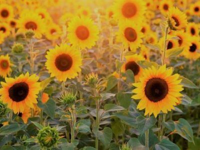 sunflowerFB